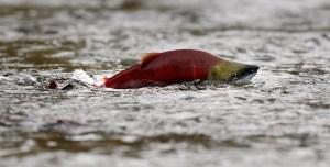 A sockeye salmon