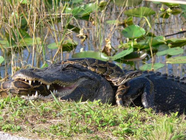 Anaconda Eating An Alligator