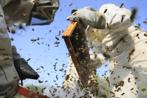 Palestinian beekeepers inspect hives at