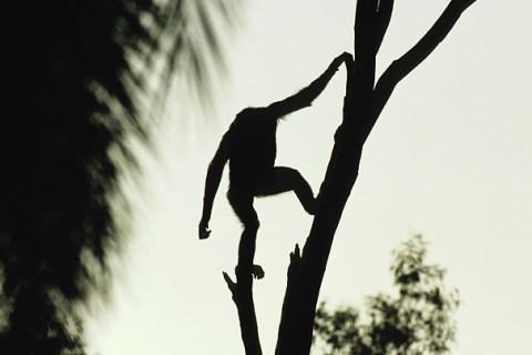 bonobo_09