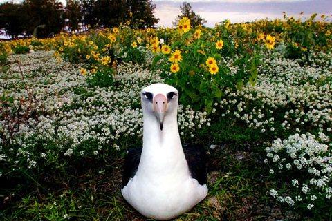 laysan_albatross