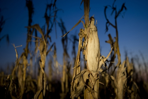 Severely damaged corn stalks due to a widespread drought are seen at sunset on a farm near Oakland City, Indiana,  Aug. 15, 2012.