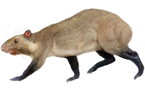 top10_newspecies_rodent