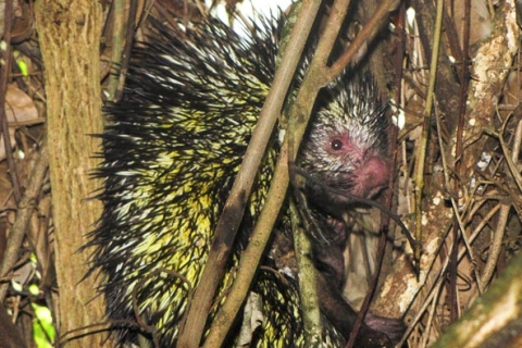 top10_newspecies_porcupine1