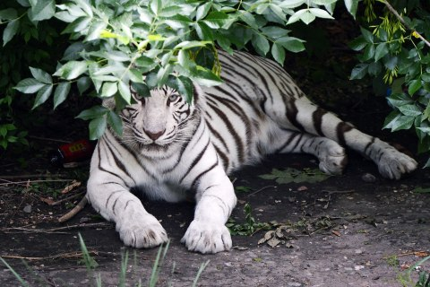 image: A white Siberian Tiger hides from the sun at the Beijing Zoo on May 22, 2012.