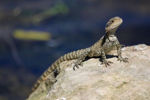A lizard basking in the hot sun