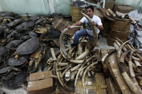 A Filipino staff of the Protected Areas and Wildlife Bureau shows seized elephant tusks and dried sea turtle stored inside their warehouse in eastern Manila, Philippines