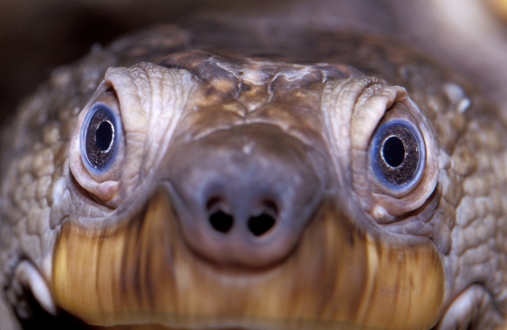 The Mary River turtle is found in Australia, and is relatively tiny. It's endangered, thanks in part to the pet trade—it's also known as the Pet Shop turtle.