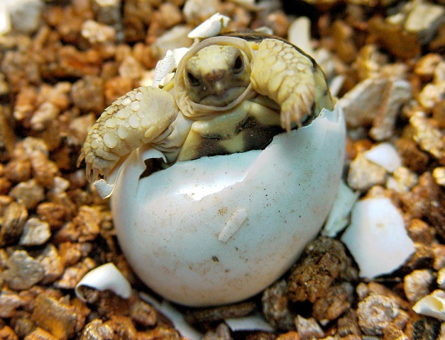 A Burmese Star tortoise climbs out of its shell at the Taipei Zoo. The tortoise is the first of its kind to be born in captivity. Burmese Stars are under heavy pressure from poachers, going for $2,000 on the black market.