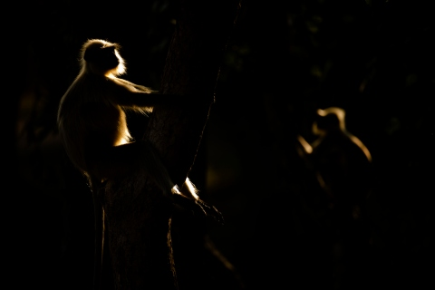 Hanuman langurs in evening light