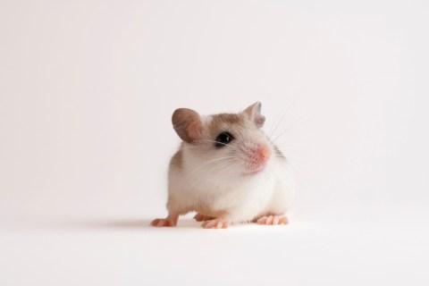 A Perdido Key beach mouse, Peromyscus polionotus trissyllepsis.