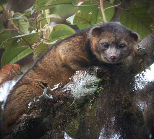 Olinguito, South America's Andean cloud forests, 2013