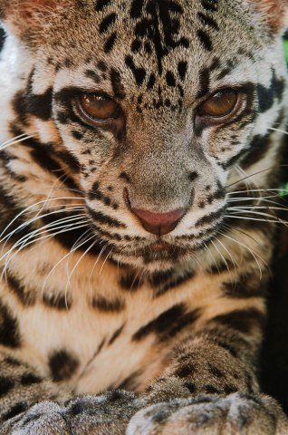 Sunda Clouded Leopard, Borneo and Sumatra, 2007.