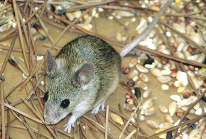Cypriot Mouse, Cyprus, 2006.