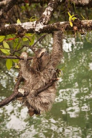 Pygmy three-toed sloth, Isla Escudo de Veraguas, Panama, 2001.