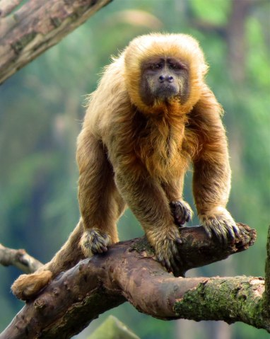 Blond capuchin, Brazil, 2006.
