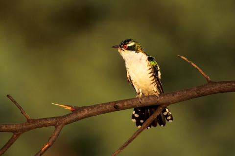 A Diederik Cuckoo perched on a branch.
