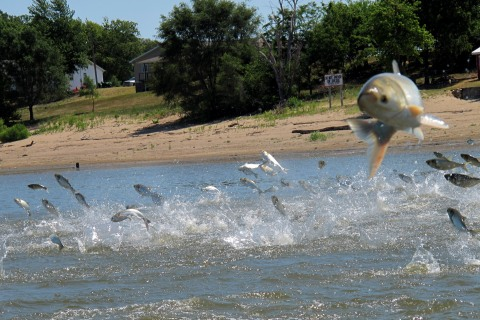 Asian Carp Great Lakes