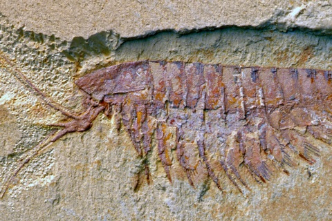 A fossil of the megacheiran Leanchoilia illecebrosa, showing its characteristic forceps-like great appendages. This species is a close relative of the more rare Alalcomenaeus and is likewise a distant relative of scorpions and spiders.