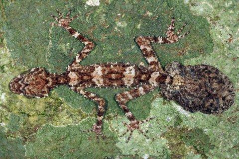 A new leaftail gecko in the  Cape Melville mountain range, in northeastern Australia's Cape York Peninsula.