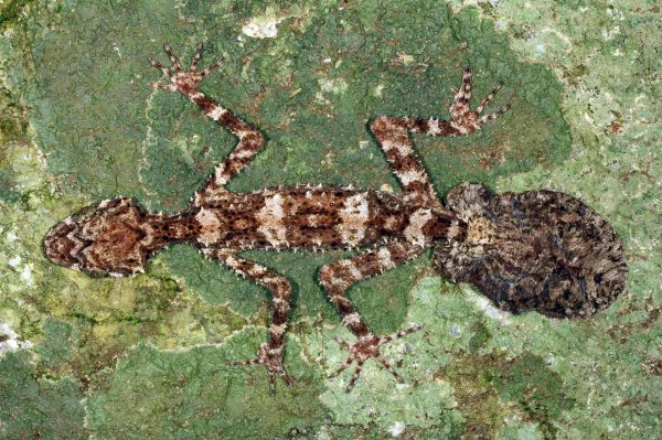 A leaf-tail gecko, one of the three new species of animals scientists have discovered in an Australian rainforest located in Cape Melville some 1,500 km (932 miles) north west of Brisbane, on March 21, 2013.