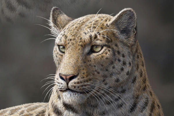 An artist's rendering of Panthera blytheae, based on skull CT scan data. A team of researchers have discovered this oldest-yet big cat fossil, a 4.4 million-year-old skull.