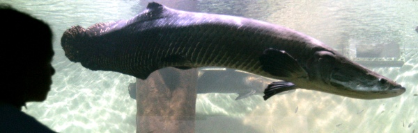 A visitor looks at an Arapaima Gigas, a fish from the Amazon rivers known as Pirarucu, at Sao Paulo's Aquarium, on Jan. 10, 2007.