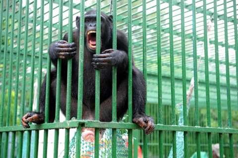 120213-captive-chimps