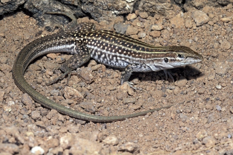 Chihuahuan Spotted Whiptail, Cnemidophorus exsanguis.