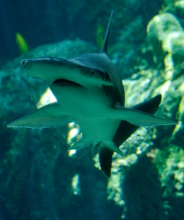 A Bonnethead shark at the Aquarium of the Pacific in Long Beach, Calif., on April 26, 2012.