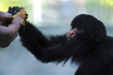 A baby red-nosed-saki monkey (Chiropotes