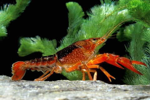 Crayfish (Procambarus clarkii), which is related to Procambarus fallax.