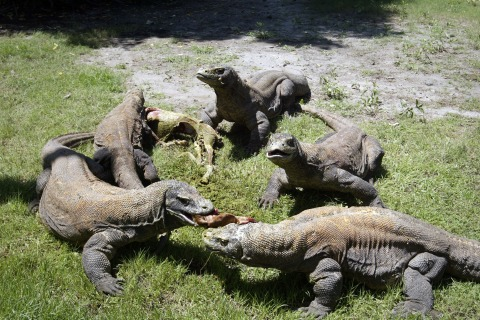 A group of Komodo dragons feast on a fresh goat carcass inside the Surabaya Zoo enclosure for the giant lizards during feeding time on March 20, 2013.