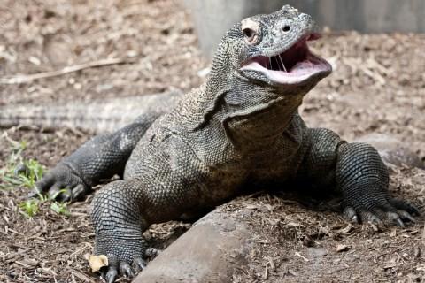 Komodo Dragon.