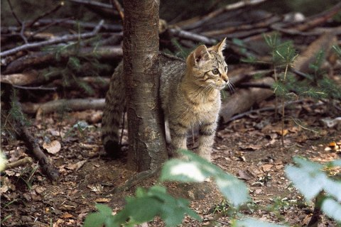 Germany, Bavarian forest, wildcat (felis silvestris lybica)