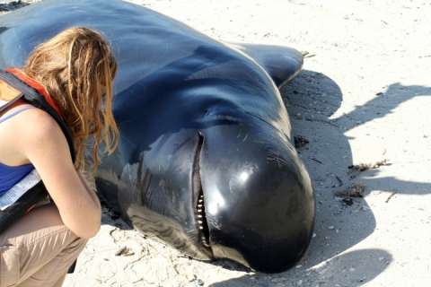 A National Park Services volunteer looks over a dead pilot whale as it lies on the beach in the Florida Everglades in this handout photo