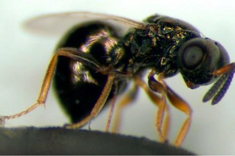 Nasonia vitripennis female.