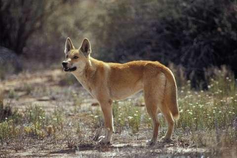 140110-dingo-australia-extinction