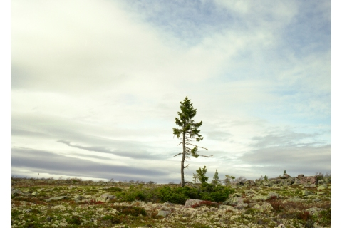 Spruce Gran Picea, 9,550 years old, Sweden