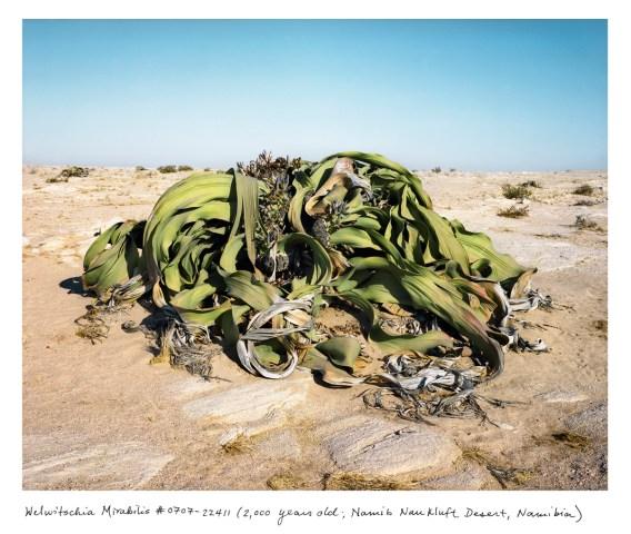 Welwitschia Mirabilis, 2,000 years old; Namib Naukluft Desert, Namibia