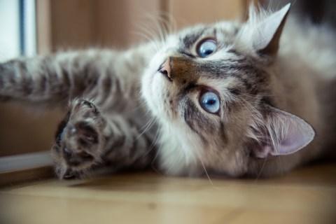 Ragdoll Cat Casper