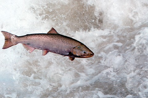 A Chinook Salmon in the Rapid River in Idaho, on May 17, 2001.